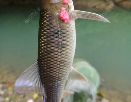 钟情于小溪流—探钓最美鱼儿