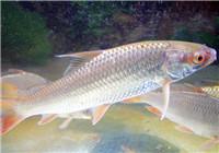 钓友分享常见淡水鱼的觅食习性(下)