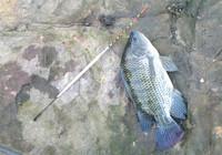 罗非鱼塘钓技巧与饵料状态