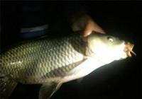 遇到鱼体起伏时的夜钓技巧