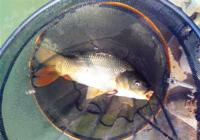 酵香型钓鲤鱼饵料配方的配置