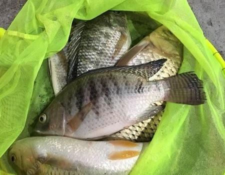 菜鳥的一次黑坑之旅……可憐的魚獲…… 釣魚之家餌料釣鯉魚