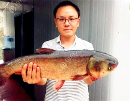 乌江水麻将 化氏饵料钓鲢鳙鱼