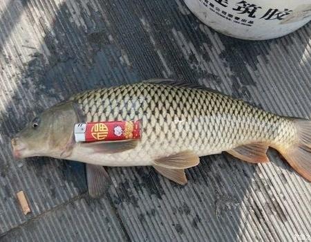 前几天小筏杆中鱼鱼获显摆① 自制饵料钓黄颡鱼
