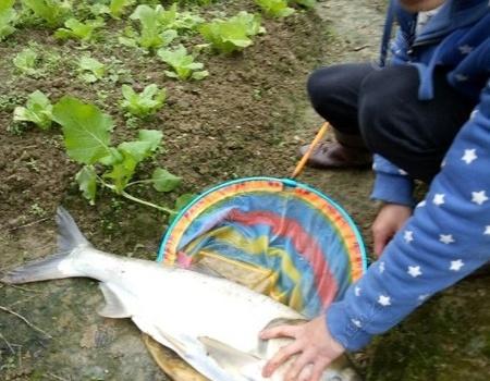 以为挂底,野河意外收获十斤重白鲢 龙王恨饵料钓鲢鳙鱼