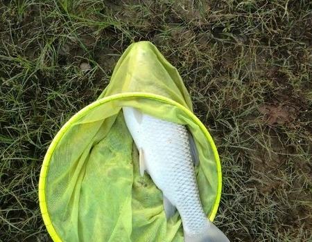 菜鸟钓鱼日记一一洞庭湖爆护草鳊 钓鱼之家饵料钓鳊鱼
