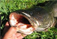资深钓友分享三种特殊的钓黑鱼要领
