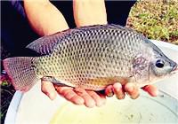 钓罗非鱼要注重饵料味型