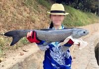钓青鱼用玉米饵如何调钓?