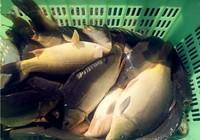 大棚钓鲤鱼用饵思路与技巧