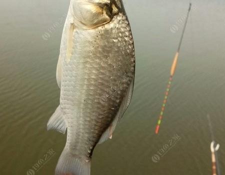重阳节之长湖行 钓鱼之家饵料钓鲤鱼