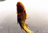 黄颡鱼的习性与实战作钓用饵思路