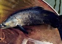 秋季钓青鱼饵窝料配置与钓位选择