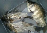 釣鯽魚如何防止脫鉤跑魚頻發