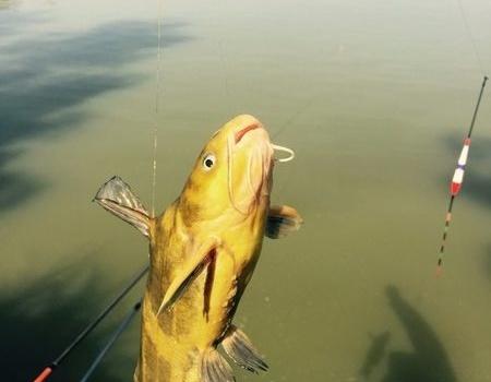 艳阳周末,垂钓斧头湖 蚯蚓饵料钓黄颡鱼