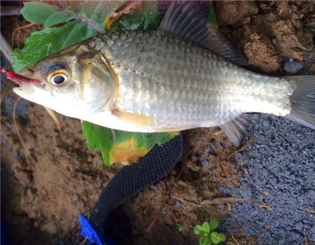 小野垂钓记(第四季—阴雨天的意外) 龙王恨饵料钓鲤鱼