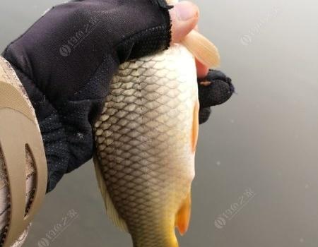 沣河钓鲫,又是一天玩乐。 老鬼饵料钓鲤鱼