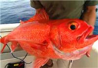 《极限钓鱼》第四季 第6集 法属新喀里多尼亚火焰鲷鱼