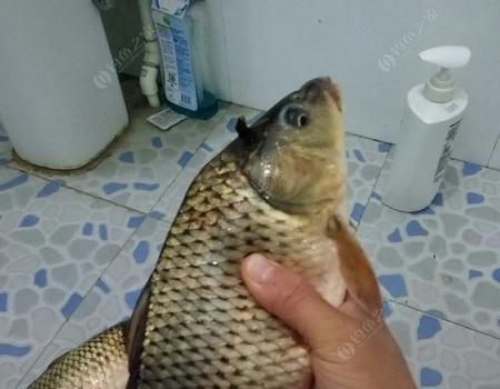 黑坑黑坑,每回去都帶給我一點點鯽鯉! 蚯蚓餌料釣鯉魚