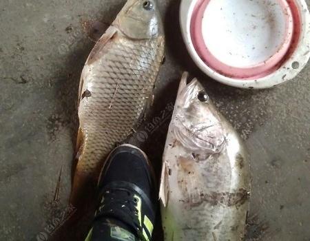 人生有时候也会有意外收获 自制饵料钓鳜鱼