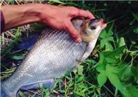 资深钓友解析野钓鳊鱼需了解的打窝技巧
