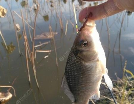 清風暖陽,釣魚也是一種享受 蚯蚓餌料釣鯽魚