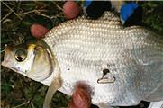 垂釣漁獲日記 降溫天意外的魚口