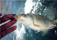 钓鱼达人解析冬季红虫饵采集与选择技巧