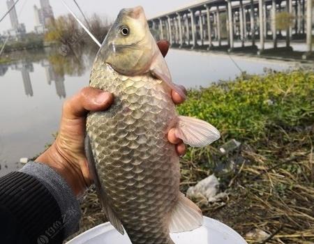 今天长炮把瘾过了!灞河第一次见这么大的鲫鱼