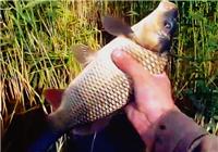 《垂钓对象鱼视频》 男子芦苇荡作钓 玉米饵收获鲤鱼