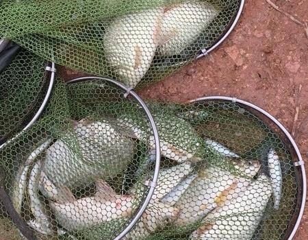 五福臨門見好就收 釣魚王餌料釣鳊魚