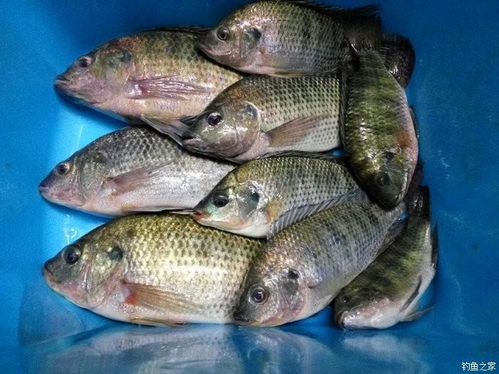 今天的鱼获还可以,共4斤,清一色罗非鱼,可没有斤非.