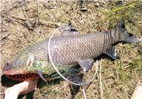 庫釣青魚餌料使用與打窩思路