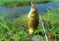 淡水中鯽魚的生活習性匯總