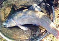 庫釣青魚餌窩料選擇與打窩技巧