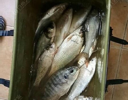 新的一年里第一钓 化氏饵料钓鲮鱼