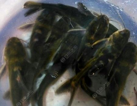 家庭和睦,开心钓鱼 老鬼饵料钓黄颡鱼