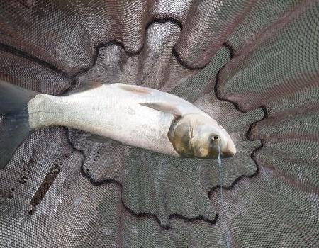 今天收获不错哟 自制饵料钓鲢鳙鱼