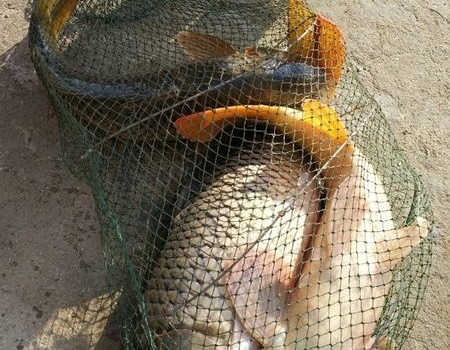七星加臺釣一人斗大魚 自制餌料釣鳊魚