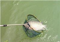 浅谈罗非鱼的作钓技巧与配饵思路