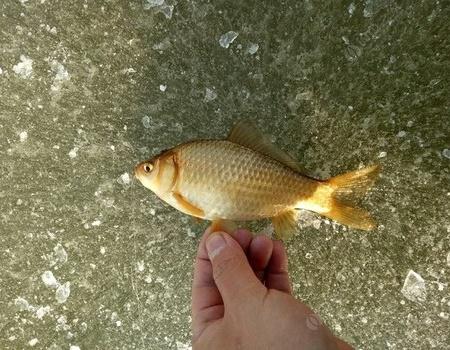 渠头大坑水质好鱼获足 红虫饵料钓鲫鱼