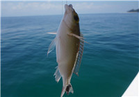 可避免海钓矶钓时杂鱼闹窝的七种技巧
