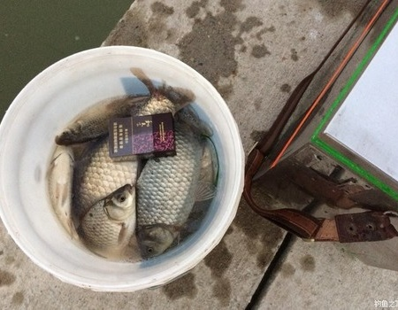 野釣不成找塘,鳊魚沒口釣鯽 化氏餌料釣鳊魚