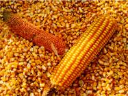 1斤玉米窝料能换30斤渔获?学学这个独家窝料,保你钓到手酸!