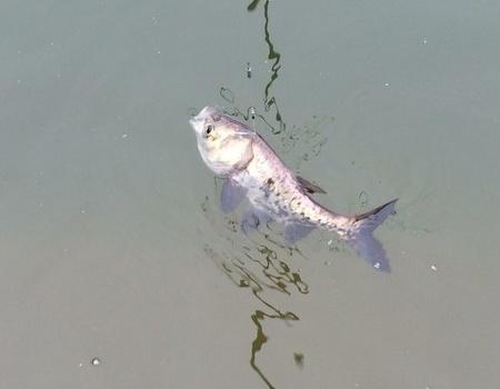 私人塘解毒 化氏餌料釣鳊魚