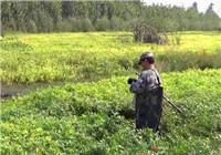 《三本先生》第67期 水草茂密的河流选点探钓鲫鱼
