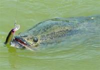 黑鱼四季的钓法解析与钓黑鱼饵料选择