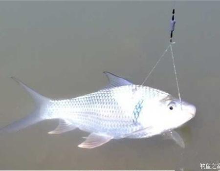 我的河邊釣鯪、鳊魚技巧 及遇到風雨時和避開鰱魚的作釣方法