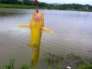 垂钓黄颡鱼的四大关键技巧!