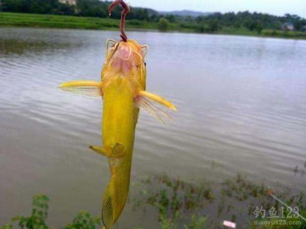 垂钓黄颡鱼的四大关键技巧